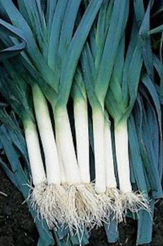 Heirloom Leek - Bleu Solaise.  French winter variety, hardy, attractive. Bluish-purple tinted leaves.