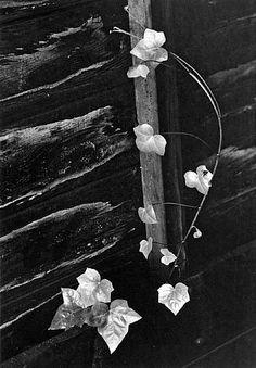 minor-white-ivy,-portland,-oregon.jpg (334×480)