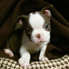 The owner of this cute little Boston Terrier love this picture of her dog in her bed at puppy's age. She is from Houma, Louisiana, USA. Cute Puppies, Cute Dogs, Dogs And Puppies, Chihuahua Dogs, Bulldog Puppies, Doggies, I Love Dogs, Puppy Love, Boston Terrier Love