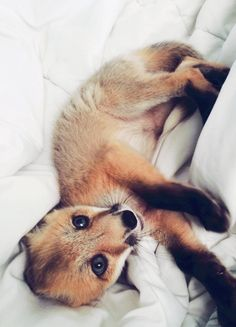 OH MY GOD THIS IS THE CUTEST FOX I HAVE EVER SEEN MY LIFE IS COMPLETE I THINK I JUST DIED AND WENT TO HEAVEN