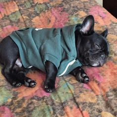 #FBF to being a nugget baby and wearing hoodies too big for me. #nuggetbaby . . . . . . #igbulldogs_losangeles #puppiesofinsta #dogmodel #instafrenchie #frenchieoftheday #igbulldogs #frenchbulldog #frenchbulldogsofinstagram #dog #puppy #dogsofinstagram #frenchie #bulldog #instapet #petstagram #bully #frenchbully #animal #squishyfacecrew #doggy #dogs_of_instagram #frenchiegram #instadog #frenchies #fab_frenchies #frenchies1