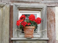 Looking for an all American sweetheart for your garden? You can't go wrong with geraniums. As a favorite go-to annual for many gardeners, geraniums are vibrant and easy to grow. They are perf…