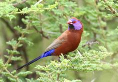 Common Grenadier - Uraeginthus granatinus Also referred to as Violet-eared Waxbill, Uraeginthus granatinus (Passeriformes - Estrildidae) is a colorful bird native to Southern Africa. Measuring between 10 and 15 cm, it is one of two cordon-bleu species present in Southern Africa which has blue cap. The male has a brown plumage, purple cheeks marked, a red beak, blue rump and a black tail. The female is similar though duller. References: [1] - [2] Photo credit: ©Derek Keats (CC BY 2.0) | ...