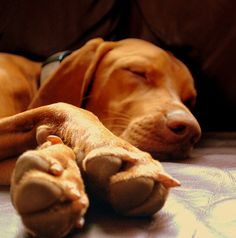Vizsla |Sleeping beauty | Flickr - Photo Sharing!