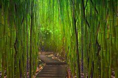 Bamboo forest hana highway maui hawaii