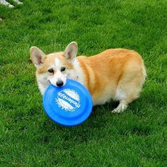 """12 Likes, 1 Comments - Modernistic Cleaning (@modernistic_cleaning) on Instagram: """"Ignore politics, look at #corgis in costumes catching Frisbees! #puppy #pets #puppylove…"""""""