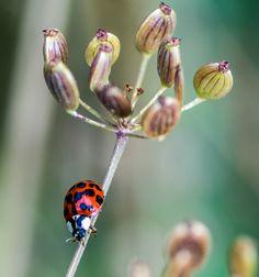 http://naturgucker.de/natur.dll/$/ #ladybug #asian ladybug #asiatischer Marienkäfer #insect #bug #red #rot #Käfer #Insekten