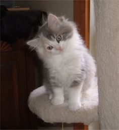 ragamuffin kittens - Google Search