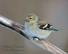 American Goldfinch in winter plumage perched on a branch