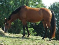 Libbie is an adoptable Quarterhorse Horse in Methuen, MA. Libbie is a 9 yr old bay Quarter Horse mare. She is a very smart girl, outgoing, with a strong personality. Libbie is green, but not spooky, a...