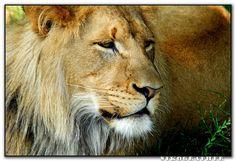 luke the lion