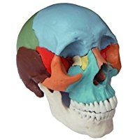 Wellden Human Medical Anatomical Adult Osteopathic Skull Model, 22-Part Didactic Colored, Life Size