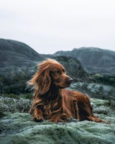 Most of us will agree - dogs are awesome. And that's exactly what Troja, an Irish Setter with a passion for treats and adventures, is. Setter Puppies, Irish Setter Dogs, Dogs And Puppies, Doggies, Golden Retriever, Retriever Puppy, Dachshund Funny, Mans Best Friend, Pitbull