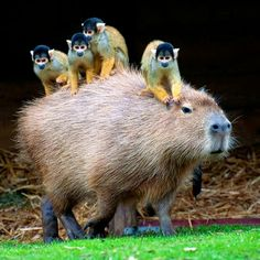 Safaraick's Zoological Rescue and Rehsbilitation via Adorable Animals Squirrel Monkey Jungle Transportation