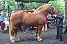 Polish Coldblood - stallion Joker