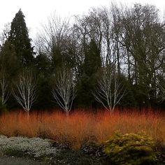 Winter gardens at Bressingham #lifewithlexi #wintergarden #colour #lifeoutdoors #beautiful Http://homevideosofaspeechandlanguagetherapist.wordpress.com