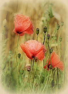 poppies, both bloom and bud. my very favourite flower Beata Zdanowska Poppy Photography, Ink Art, Vintage Flowers, Pretty Flowers, Spring Flowers, Floral Watercolor, Poppies, Bloom, Artist