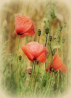poppies, both bloom and bud. my very favourite flower <3   Beata Zdanowska