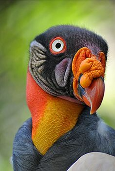 King Vulture from Ecuador
