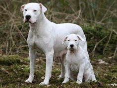Photo chien Dogue argentin - 5090 - Wamiz