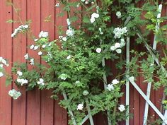 Suomenköynnösruusu Plants, Plant, Planets