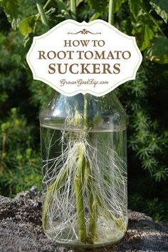 Did you know you can root tomato suckers for a second crop of fresh and healthy plants?  Rooting tomato stems and growing new plants is a nifty little way of getting an additional tomato harvest for free. If you garden in an area with a longer growing season, cloning new tomato plants from stem cuttings is a great way to grow a second crop of healthy tomatoes in the fall when the temperatures are cooler.