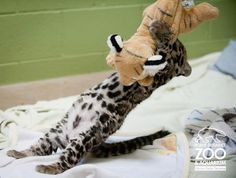 Clouded leopard cub is almost 2 months old