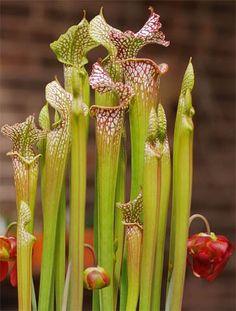 Pitcher Plant Sarracenia leucophylla by Xscd