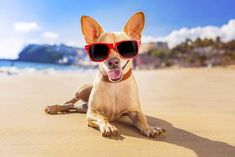 chihuahua dog at the ocean shore beach wearing red funny sunglasses Poster. Happy Weekend, Happy Friday, Funny Sunglasses, Pet Friendly Accommodation, Holiday Accommodation, Chihuahua Love, Pet Safe, Fauna, Instrumental