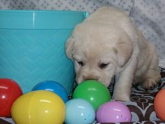 Happy Easter English Lab Puppies, Happy Easter, Happy Easter Day