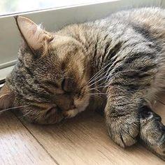 おはよーなっきぃ Part106 おはにゃん😸 今日も朝から暑いにゃ☀️ #中島早貴 #なっきぃ  #おはなっきぃ  #るなっきぃ #ルナ #luna #ミヌエット #マンチカン #ペルシャ #今日のルナ #今日じゃないけど #ハロプロメンバー猫 #ハロメン猫  #ねこ #愛猫  #溺愛しててすみません  #cat #cutecat #goodmorning  #haveaniceday  #nacky #sakinakajima