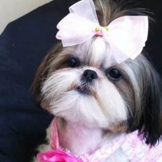 Top 35 Female Shih Tzu Dog Names Source . The post Top 35 Female Shih Tzu Dog Names appeared first on Dogs and Diana. Shitzu Puppies, Cute Puppies, Cute Dogs, Dogs And Puppies, Doggies, Retriever Puppies, Puppys, Labrador Retriever, Perro Shih Tzu