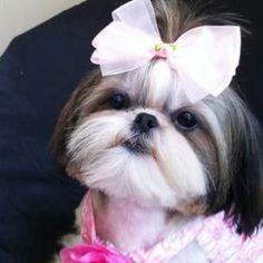 Top 35 Female Shih Tzu Dog Names