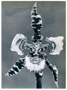 Batia Suter, Polymorph Orchid