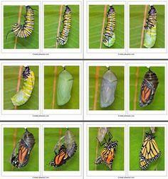 Van rups tot vlinder, de fases