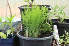 20 asperges in eigen tuin, 10 reserve in bloempotten, 50 weggegeven en nog dit over!