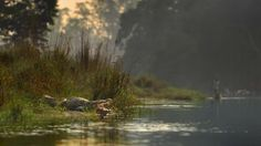 Crocodile Inside River