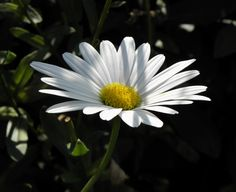 Daisy....one of my favorites. I know it's simple, but I love them.