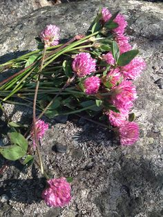 Katerina's Journal: Red Clover For Dogs