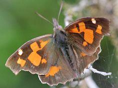Zürgelbaum-Schnauzenfalter  Libythea celtis  Nettle-Tree Butterfly Schmetterlinge und Raupen Südeuropas Griechenland Italien Südfrankreich Spanien Portugal Korsika Sardinien Kroatien Schmetterling