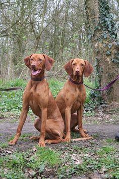 Vizsla Puppies, Dogs And Puppies, Vizsla Dog, Doggies, Weimaraner, Animals And Pets, Cute Animals, Redbone Coonhound, Bernedoodle Puppy