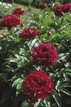 Pink/Daoist Pills In A Jade Stove Chinese Tree Peony Cricket Hill Garden |  Gardening Is Better Than Therapy | Pinterest | Tree Peony, Peony And Hill  Garden