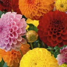 5 Mixed Pompon and Ball Dahlia Tubers £5.95