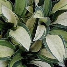 Shades of Green Hostas and Daylilies  Hosta - Desert Mouse