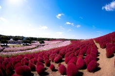 Hitachi Seaside Park is a palette of colors, changing from one season to another, making it an all-year-round paradise. In the spring, these baby-blue flowers, called nemophilas, bloom all over the park.  Beautiful and colorful nature is found at the Hitachi Seaside Park. Covering an area of 190 hectares, the park features blooming flowers around the year. Each season is a vibrant pallet of colors, from baby blue in spring, green and red in summer and orange in the fall.