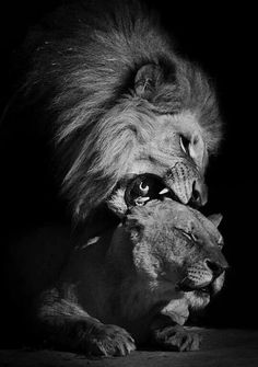 Lion and lioness Poster. Animals And Pets, Baby Animals, Cute Animals, Most Beautiful Animals, Beautiful Cats, Couple Lion, Planeta Animal, Lion Family, Lions Photos