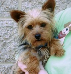 93 Best Yorkies Images Pets Doggies Yorkshire Terrier Dog