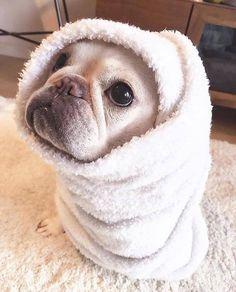 French Bulldog hygiene ➡➡➡ www.frenchbulldogsecrets.com