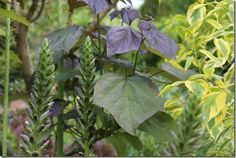 Big Leaves: Bold Foliage Do you love large leaves and bold foliage? Andy McIndoe lists some of the greatest large leaved #garden plants for great #foliage interest and colour Catalpa erubescens 'Purpurea'