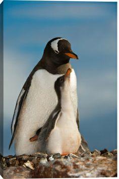 Gentoo Penguin  Chick, Antarctica